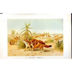 NATURAL HISTORY 1893 94 AFRICAN FENNECS WILD ANIMALS