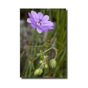 Mountain Cranesbill Alpes De Hauteprovence France Giclee Print