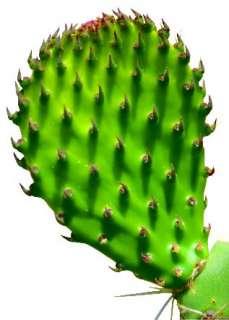 health benefits of nopal 4 bottles pure 100 % all natural nopal 100
