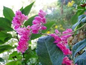 CHINESE LOVE VINE or Antigonon Leptopus 10 seeds