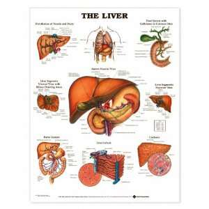 Liver Anatomy Chart:  Industrial & Scientific