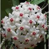Strawberries & Cream Wax Plant  Hoya  Great House Plant
