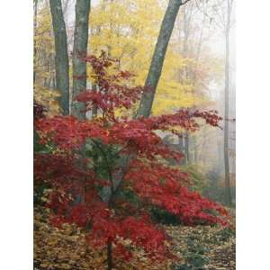 Japanese Maple Leaves in the Fall National Geographic Collection
